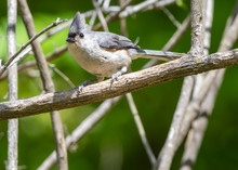 A Horizontal Of Tufted Titmouse Bird Perched On A Limb With A Green Background.  The Tufted Titmouse Is A Small Gray Songbird From North America, A Species In The Tit And Chickadee Family.