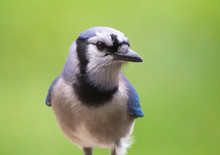 Closeup Of A Colorful Blue Jay...