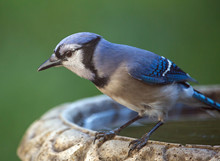Colorful Blue Jay Bird Perched...