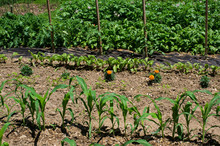 Home Vegetable Garden On A Sunny Day. Crops Include Corn, Carrot, Marigold Flower As A Companion Plant To Deter Bugs, Red Beet, Tomato, Spinach, Kale And Potatoes.