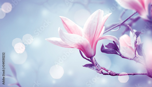 Fototapeta Blooming pink magnolia flower on fantasy mysterious blue background with shining