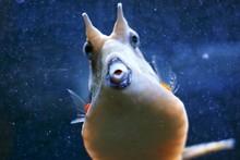 Close-up Of Longhorn Cowfish In Aquarium