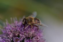 Little Winged Bee On A Purple Burdock Flower In A Field