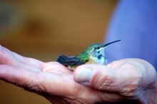 Close-up Of Cropped Hand Holding Hummingbird