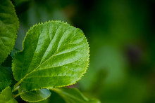 Isolated Green Serrated Leaf From A Creeper Plant. Featuring A Lush Green Texture With Some Of The Edges Of The Leaf Slightly Blurring Due To A Tighter Depth Of Field.