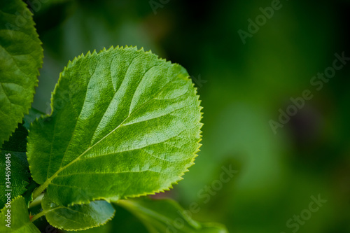 Fotografie, Obraz Isolated green serrated leaf from a creeper plant