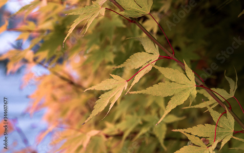Carta da parati Primo piano di foglie d'acero in autunno