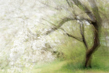 Blossoming Old Cherry Tree, Abstract Multiple Exposure That Reminds Of A Painting, Copy Space, Blurry Soft Focus