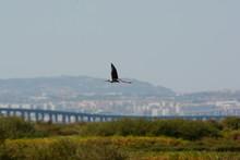 Black-winged Stilt (Himantopus...
