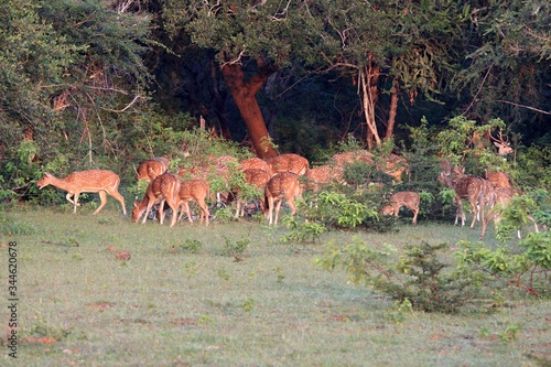 Herd of Sri Lankan axis deer, Axis axis ceylonensis, early in morning Canvas Print