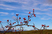 Fresh Red Hawthorns On Bare Twigs Against Sky