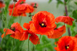 poppy outdoors in the garden