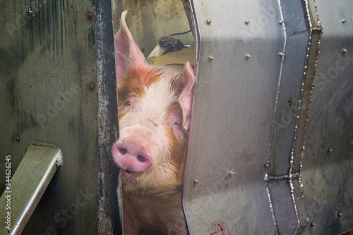 Industrial production of pork meat in a meat factory Canvas Print