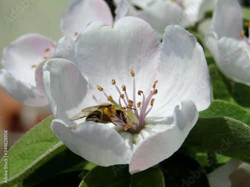A valuable bee among the anthers of the flowering tree of the quince in the orch Canvas Print