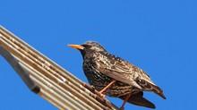Starling Baby Singing In Barce...
