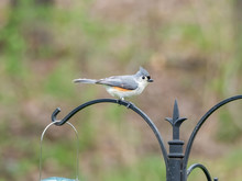 Tufted Titmouse Sitting On Hook