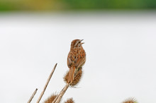 Song Sparrow Singing To The Wo...