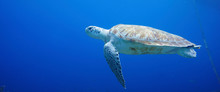 Beautiful Sea Turtle Swimming In The Caribbean Sea. Blue Water. Relaxed, Curacao, Aruba, Bonaire, Animal, Scuba Diving, Ocean, Under The Sea, Underwater Photography, Snorkeling, Tropical Paradise.