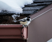 Carolina Chickadee Perching On Snow Covered Roof