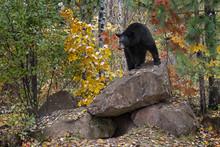 Black Bear (Ursus Americanus) Looks Out From Atop Rock Den Autumn