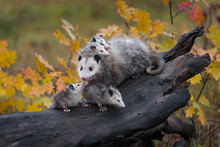 Virginia Opossum Joey (Didelph...