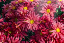 Vibrant Deep Pink Daisy Flower...