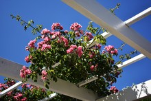 Climbing Garden Roses On Wood...