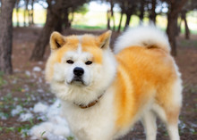 Dog In A Forest Of Akita Inu B...