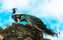 Low Angle View Of Peacock On R...