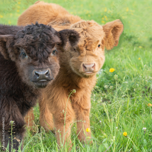 Closeup Portrait of two beautiful small brown and black calfs cows on a highland cattle farm Fototapete