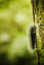 Close Up Of A Caterpillar, Cay...