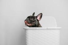 French Bulldog Puppy In A Basket