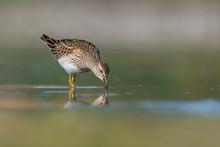 Ruff (Philomachus Pugnax) Feeding On A Muddy Lake. Cute Shorebird In Its Environment. Wildlife Scene From Nature. Czech Republic
