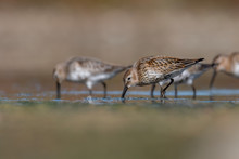Dunlin (Calidris Alpina) Feeding On A Muddy Lake. Cute Brown Shorebird Wader In Its Environment, Detailed Portrait. Wildlife Scene From Nature Czech Republic