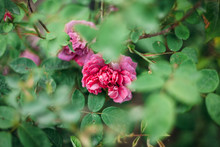 Pink Flowers Blooming Amidst Green Plant Leaves