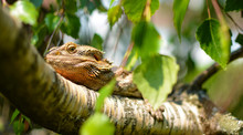 Low Angle View Of Bearded Dragon On Tree During Sunny Day