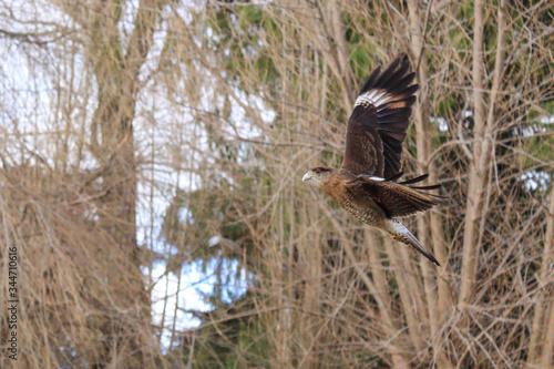 Photo Ave Chimango volando en el bosque.