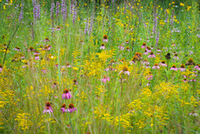 Coneflowers, Goldenrod And Bla...