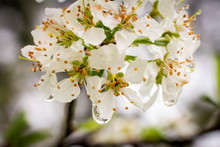 Pear Blossoms