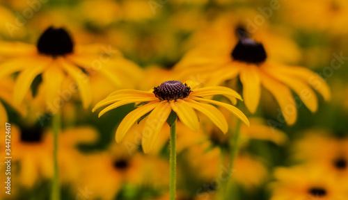 Fototapeta Żółte kwiaty-Omieg Kaukaski obraz