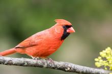 Northern Cardinal Male, Cardin...