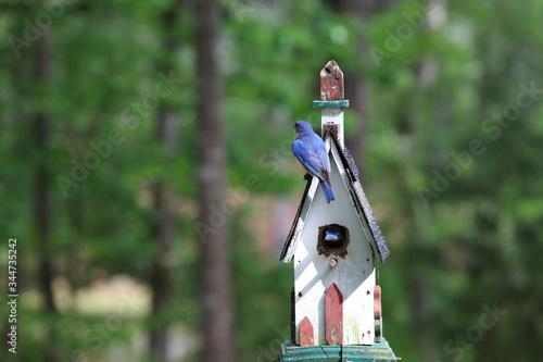 Fotografie, Tablou Bluebird Parents Protecting & Feeding Babies in Birdhouse