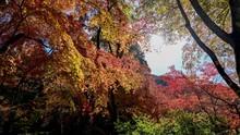 ちょうど見頃のカラフルなモミジの紅葉