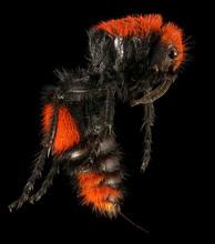 Velvet Ant Macro Specimen, For...