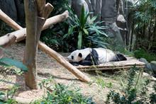 Giant Panda Resting In His Enc...