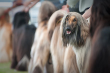 Afghan Hound At Dog Show