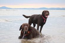 Two Labrador On Beach