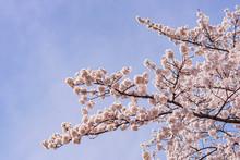 200419宮川桜M016