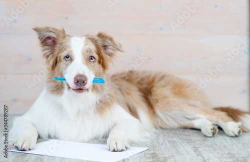 Fototapety, obrazy: An Australian obchanka holds a pen in its teeth, next to it lies a read sheet of paper. Dog writing a letter