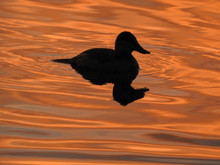 Young Cormorant Swimming In Lake During Sunset